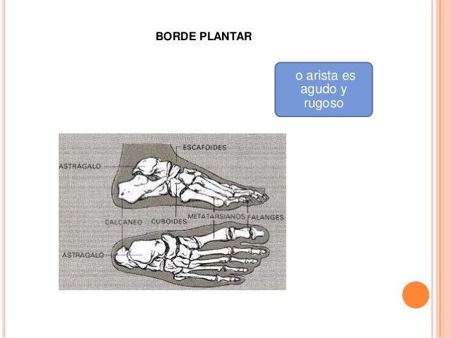METATARSO Formado por:  5 huesos llamados metatarsianos: primero, segundo, tercero, cuarto y quinto, de medial a lateral.