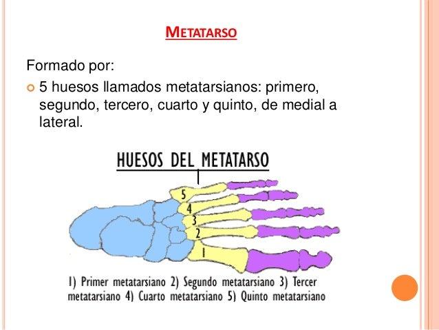 CARACTERISTICAS PARTICULARES DE LOS METATARSIANOS. Primer metatarsiano:  Voluminoso, mas corto y grueso que los demás.  ...