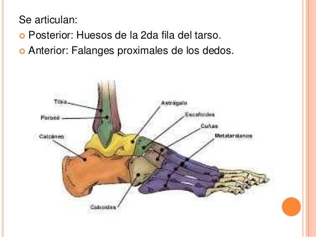 Segundo metatarsiano:  Mas largo que todos.  Diferencias: cara posterior, cara colateral medial y lateral.