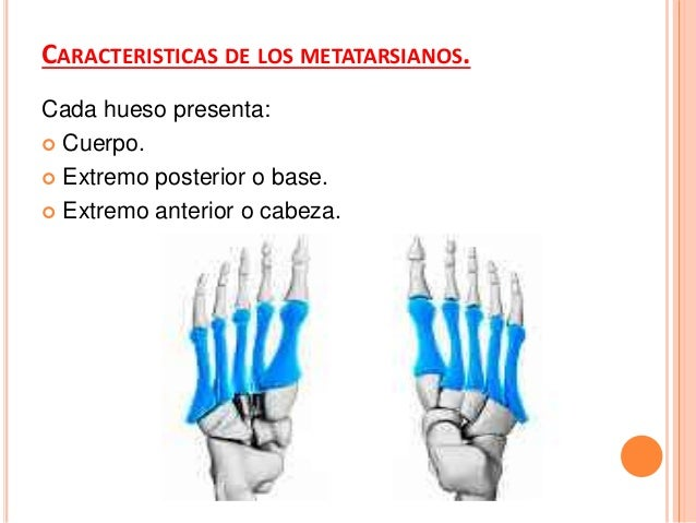 Tercer metatarsiano:  Base: articulada: hueso cuneiforme lateral, 2do metatarsiano y 4to metatarsiano