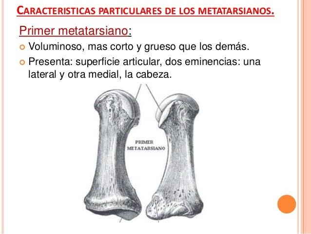 Cuarto metatarsiano: Su base presenta:  Cara articular posterior, cara lateral, dos caras mediales. Anterior y posterior.