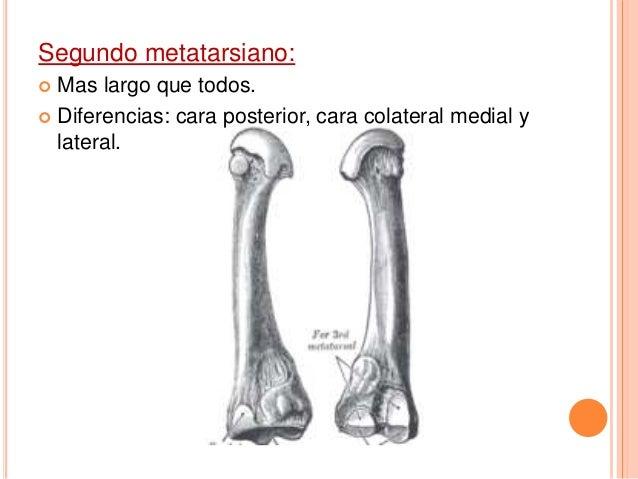 Quinto metatarsiano:  Base: articulada con: hueso cuboides.  Tuberosidad: se inserta el tendón del musculo peroneo corto.