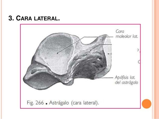 4. CARA MEDIAL. Fascículo profundo, del ligamento medial d la art. Del tobillo.