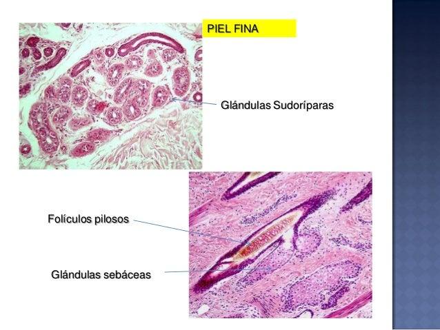 Piel y Glándula Mamaria