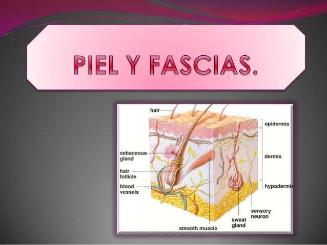 Generalidades.                     Funciones. La piel es el mayor          Brinda protección al  órgano del cuerpo  huma...