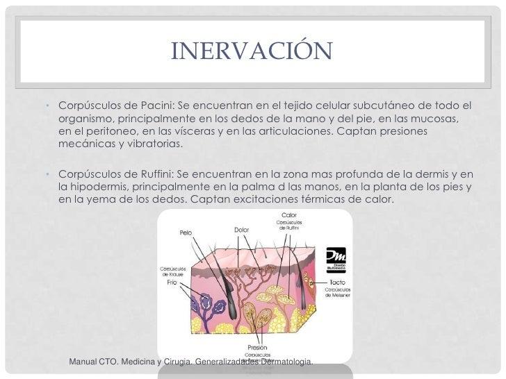 INERVACIÓN• Corpúsculos de Pacini: Se encuentran en el tejido celular subcutáneo de todo el  organismo, principalmente en ...