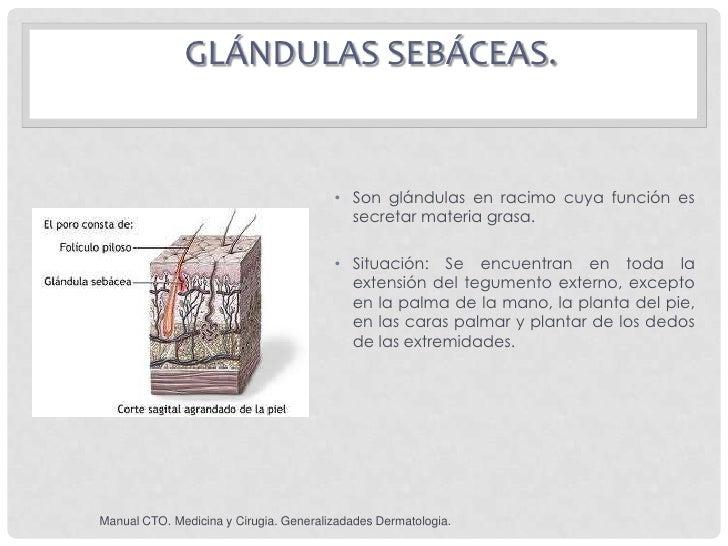 GLÁNDULAS SEBÁCEAS.                                        • Son glándulas en racimo cuya función es                      ...