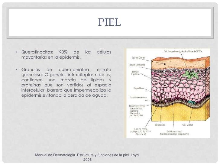 PIEL• Queratinocitos: 90% de               las    células  mayoritarias en la epidermis.• Granulos      de   queratohialin...