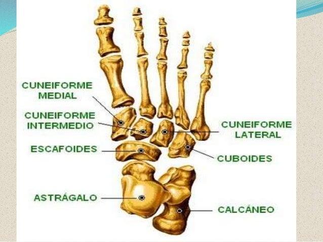 huesos y articulaciones del pie (anatomia)