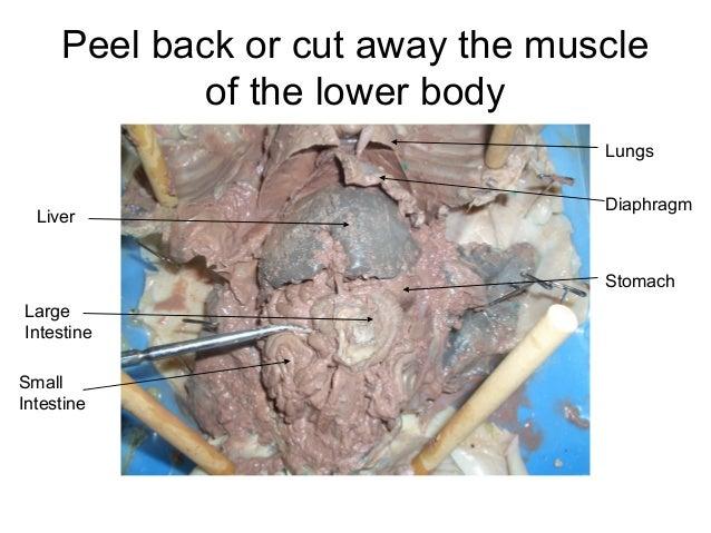 Fetal pig dissection internal anatomy