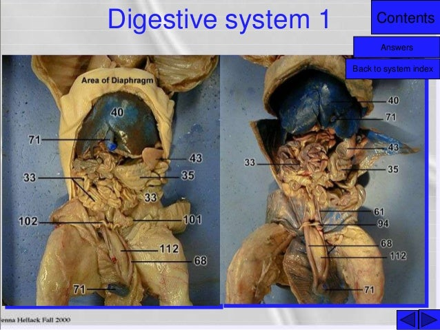 Male Reproductive System additionally Tyler S Nervous System C Map moreover Slide further Fetal Pig as well Diagram Male Reproductive System. on male reproductive system answers