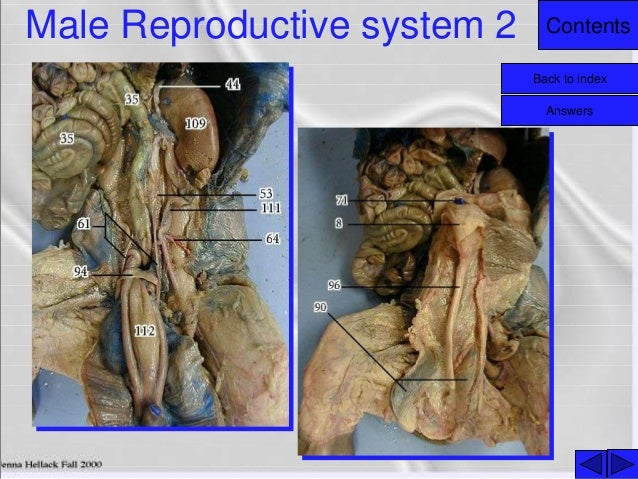 pig reproductive system