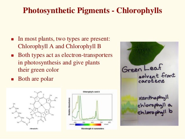 chlorophyll and polar groups essay Chlorophyll molecules have a polar head (a porphyrin head) and a non-polar tail (figure you will work in groups, as directed by your ta sp18 effect of light color on photosynthesis 7-6 3.