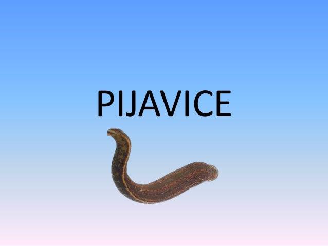 PIJAVICE
