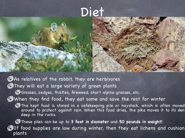 What Food Do Pikas Eat
