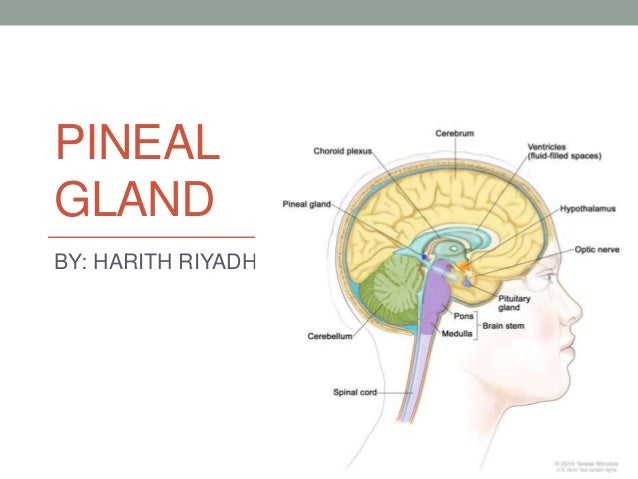 Diagram of pineal gland location information of wiring diagram pineal gland antomy histology function rh slideshare net brain diagram pituitary gland tissues diagram pituitary gland ccuart Gallery