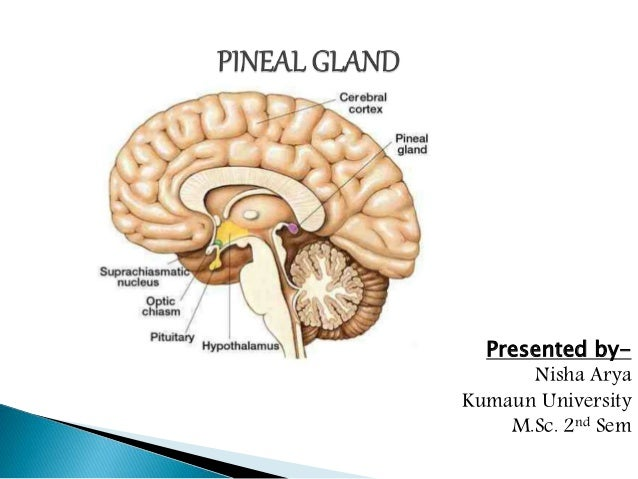 pineal gland endocrinology