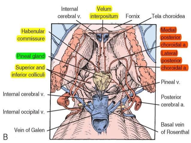 Contemporary Velum Interpositum Anatomy Motif - Anatomy And ...