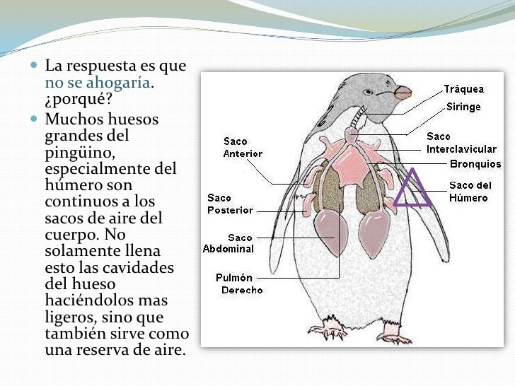 Pingüino \