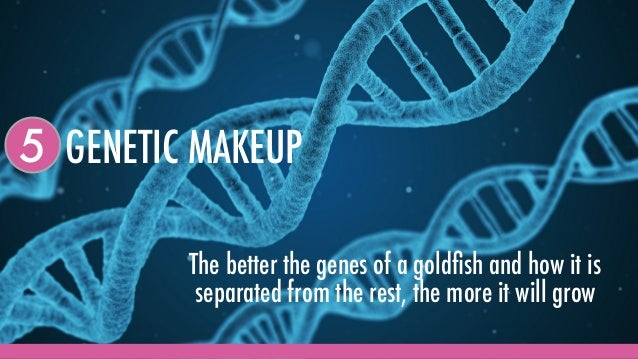GENETIC MAKEUP5 The better the genes of a goldfish and how it is separated from the rest, the more it will grow