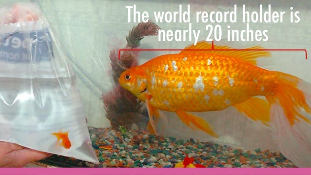 The world record holder is nearly 20 inches