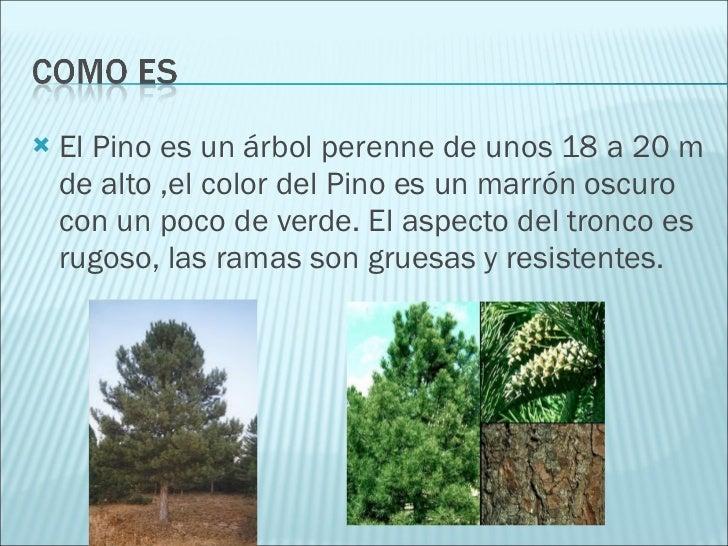 El pino for Caracteristicas de los arboles de hoja perenne