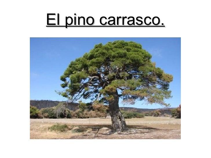 El pino carrasco.