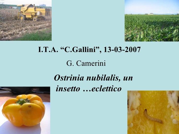 """I.T.A. """"C.Gallini"""", 13-03-2007 G. Camerini     Ostrinia nubilalis, un  insetto …eclettico"""