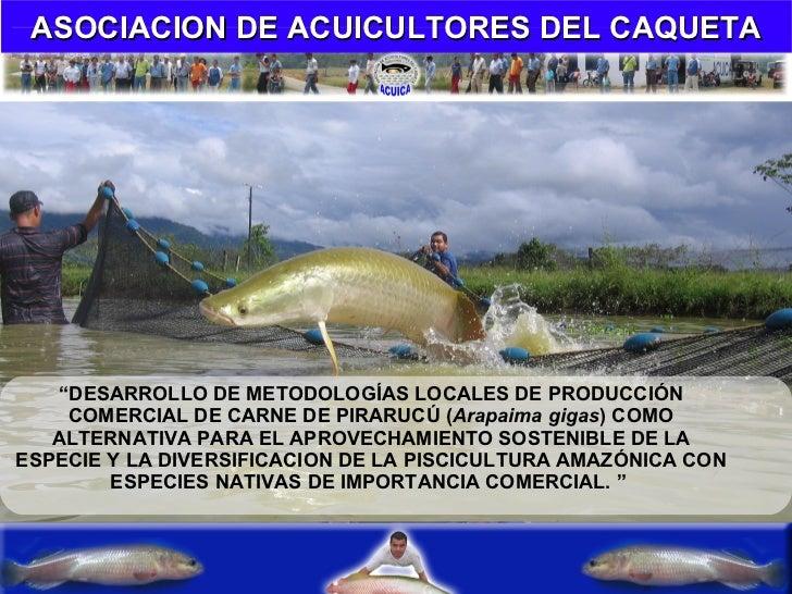 """"""" DESARROLLO DE METODOLOGÍAS LOCALES DE PRODUCCIÓN COMERCIAL DE CARNE DE PIRARUCÚ ( Arapaima gigas )   COMO ALTERNATIVA PA..."""