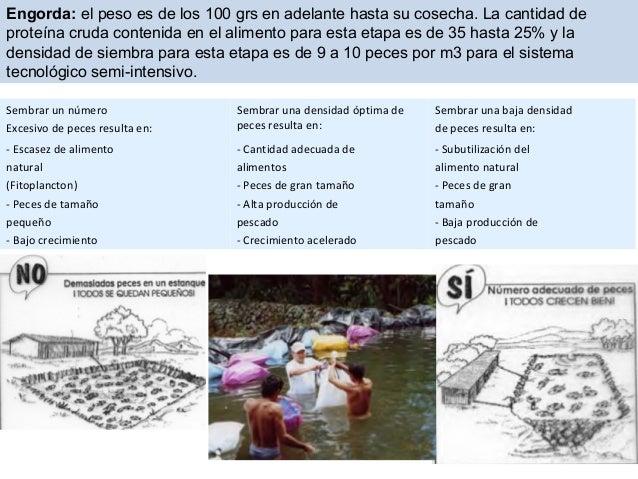 introduccion al cultivo de tilapia ForDensidad De Siembra De Tilapia