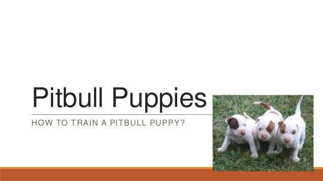 Pitbull PuppiesHOW TO TRAIN A PITBULL PUPPY?