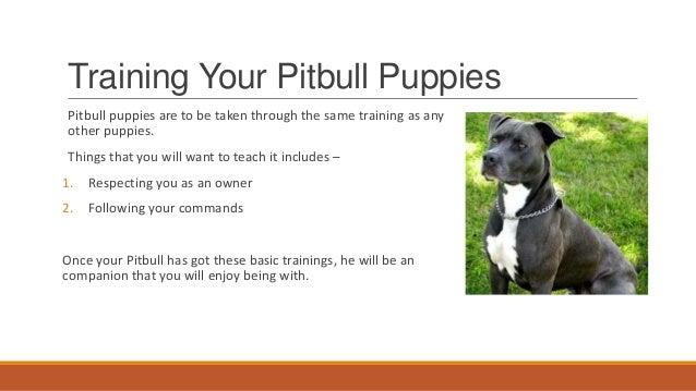 Pitbull puppies - How to Train your Pitbull Puppy