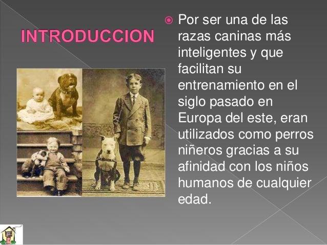 Durante el siglo XIX, Inglaterra, Irlanda y Escocia comenzaron a experimentar con los cruces entre bulldogs y terriers, en...