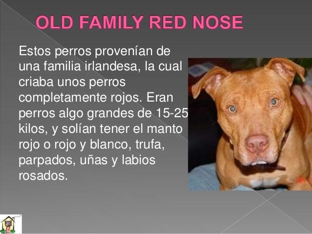 Este perro surgió básicamente del cruce entre perros Colby y Old Family Red Nose, dando lugar a unos perros fuertes y con ...
