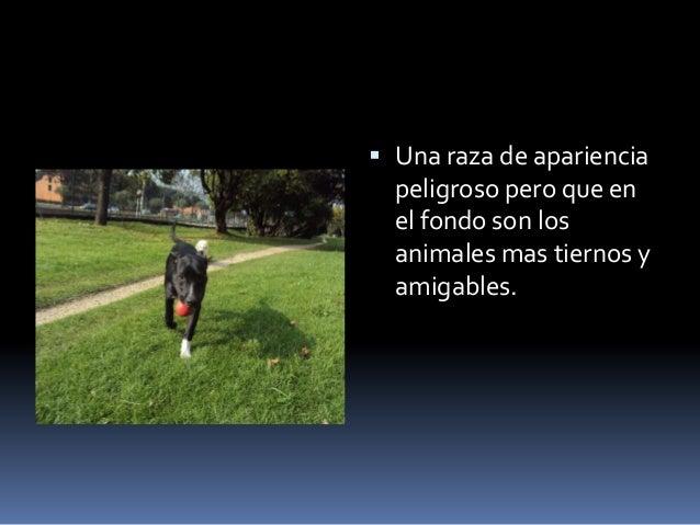 Pit bulls 3 Slide 2