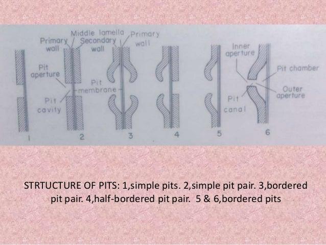 Pits Amp Plasmodesmata on Water Slide Diagram