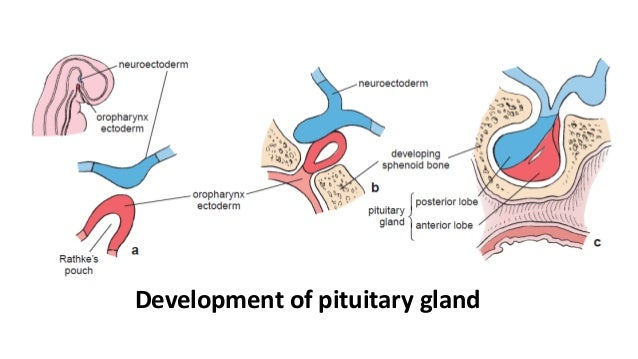 pituitary gland- anatomy, histology and embryology, Human Body