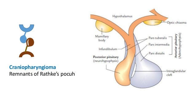 Pituitary gland- Anatomy, histology and embryology