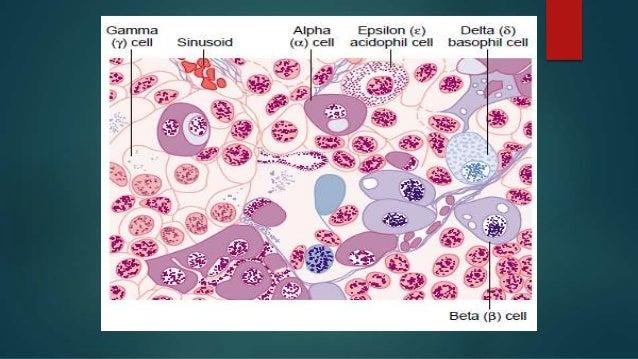 diagram of apocrine gland diagram of pituitary gland cells