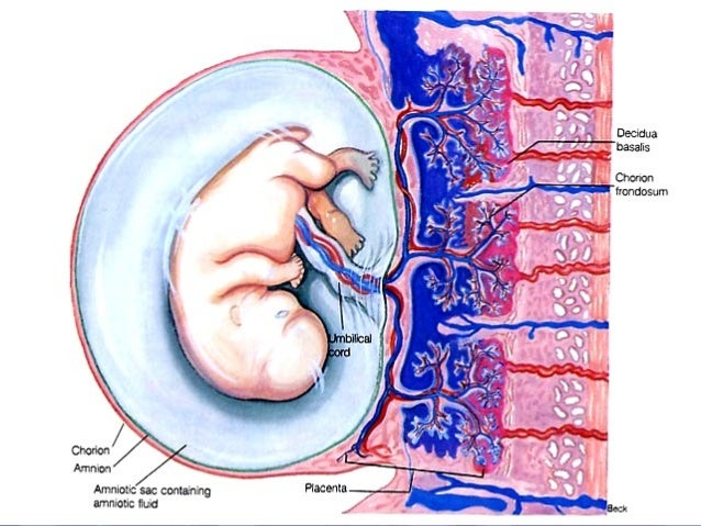 PLACENTAL FUNCTION Transfer of nutrients and waste products bn the mother & fetus. RESPIRATORY EXCRETORY NUTRITIVE Produce...