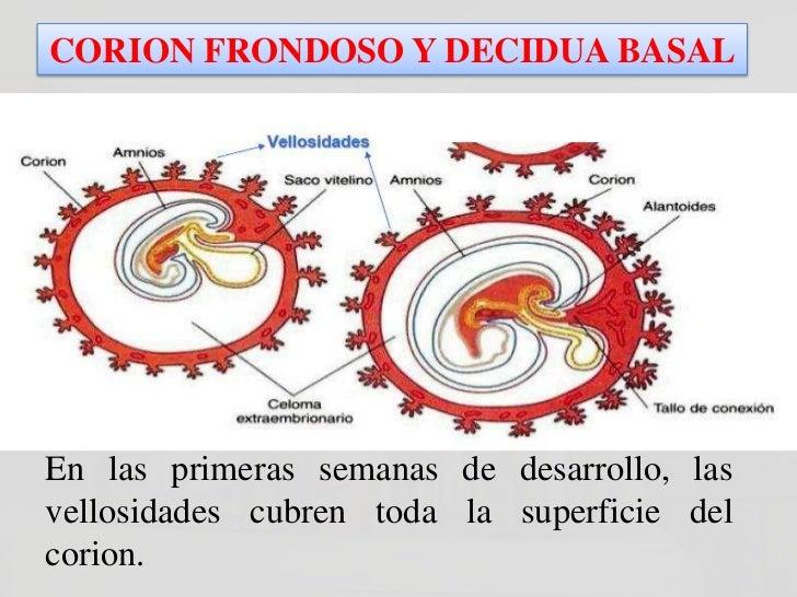 CORION FRONDOSO Y                   DECIDUA BASALLas Vellosidades del poloabembrionario degeneranal tercer mes, por lo que...
