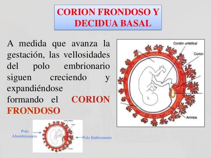 CORION FRONDOSO Y   DECIDUA BASAL        La diferencia entre el        polo embrionario y        abembrionario también    ...