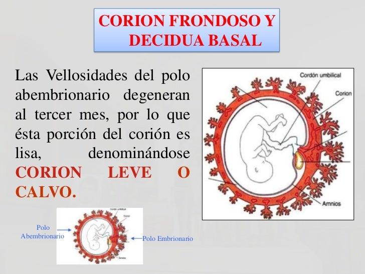 CORION FRONDOSO Y                    DECIDUA BASALLa Decidua que cubre al corionfrondoso se llama DECIDUABASAL.La Decidua ...