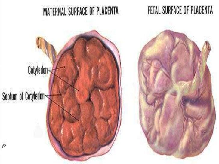 ESTRUCTURA DE LA PLACENTADebido al crecimiento continuo del feto y a laexpansión del útero, la placenta tambiéncrece, cub...
