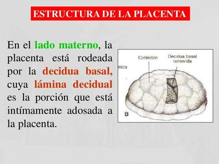 Después del Nacimiento:En lado materno seobserva 15 a 20 zonassalientes:COTILEDONES.Los surcos que separan alos    cotiled...