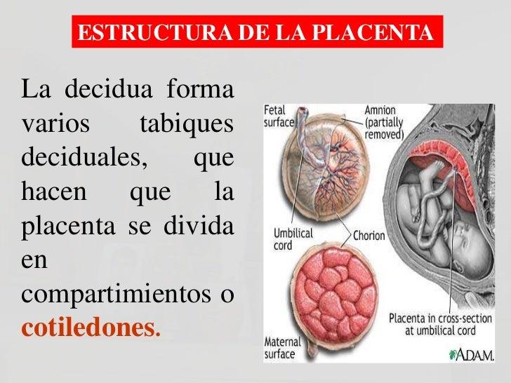 Superficie Materna de una Placenta        Normal, Saludable