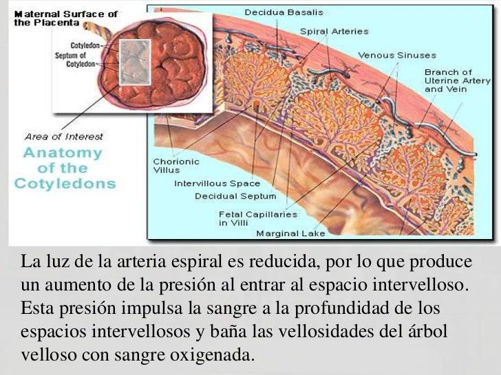 FUNCIONES DE LA PLACENTAOtra hormona producida por laplacenta, es laSOMATOMAMOTROFINA,(antes llamada Lactógenoplacentario)...