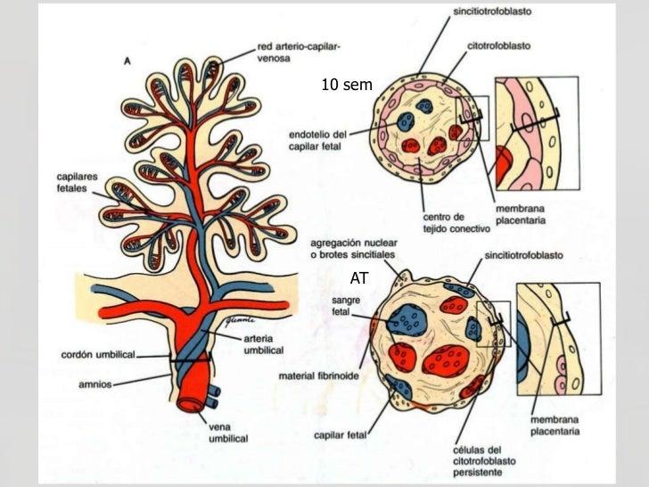 LA BARRERA PLACENTARIA La placenta actúa como una barrera selectiva permitiendo el paso de diferentes moléculas e impidie...