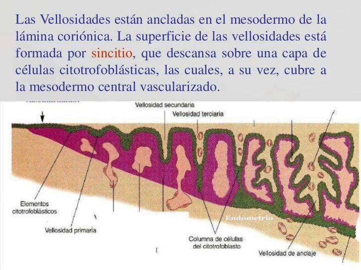 Las Vellosidades están ancladas en el mesodermo de lalámina coriónica. La superficie de las vellosidades estáformada por s...