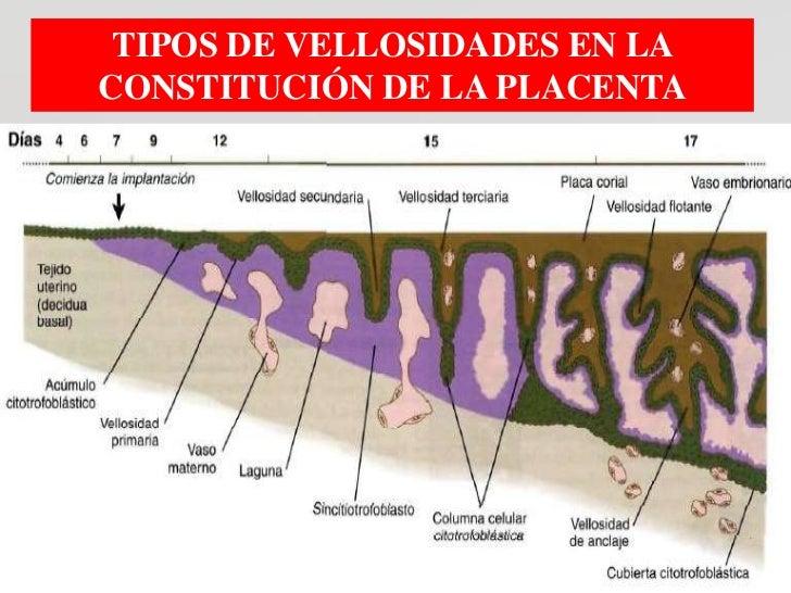 TIPOS DE VELLOSIDADES EN LACONSTITUCIÓN DE LA PLACENTA